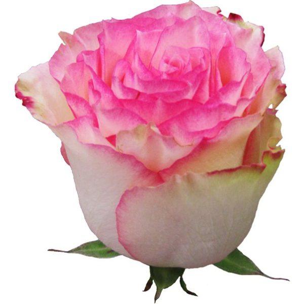 Роза Эсперанс (Esperance)