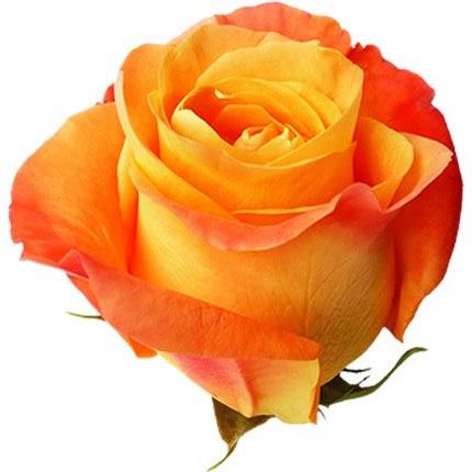 Роза Вуду (Voodo)