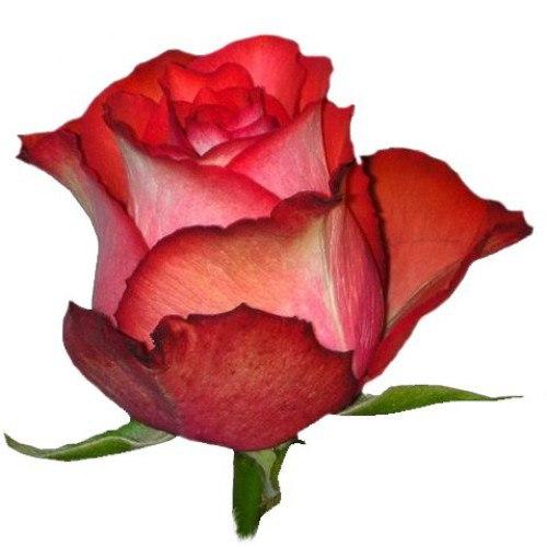 Роза Игуана (Iguana)
