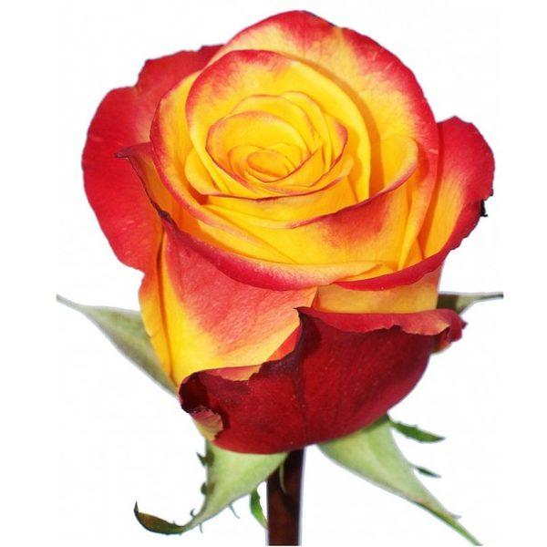 Роза Хай Елоу Мэджик Флейм (High&Yellow Magic Flame)