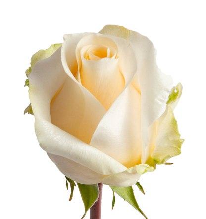 Роза Крем де ла Крем (Cream de la Cream)